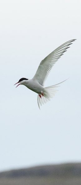 tern about to attack